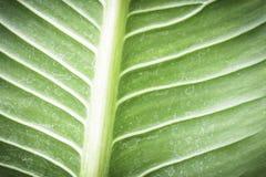 Textura verde da folha com mancha da água Imagem de Stock Royalty Free