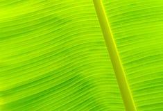 Textura verde da folha da banana Foto de Stock