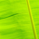Textura verde da folha da banana Imagens de Stock