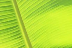Textura verde da folha da banana Fotografia de Stock Royalty Free