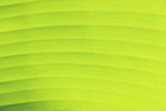 Textura verde da folha da banana Imagem de Stock Royalty Free