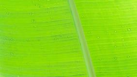 Textura verde da folha da banana com gota da água Fotografia de Stock