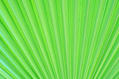 Textura verde da folha de palmeira Imagens de Stock Royalty Free