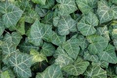 Textura verde da folha ivy Imagens de Stock