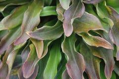 Textura verde da folha Lírio Fotografia de Stock Royalty Free
