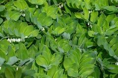 Textura verde da folha Selo de Solomons angular, polygonatum no jardim em um fundo verde Uma planta constante com bonito imagem de stock
