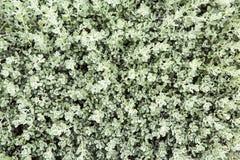 Textura verde da parede da folha Foto de Stock Royalty Free