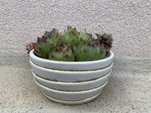 Textura verde da planta do houseleek como o fundo natural agrad?vel imagens de stock royalty free