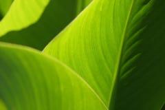 Textura verde das folhas Imagens de Stock