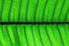 Textura verde de la hoja Fotos de archivo