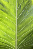 Textura verde de la hoja Imágenes de archivo libres de regalías