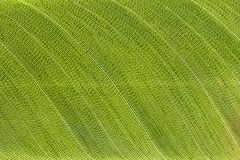 Textura verde de la hoja Foto de archivo libre de regalías