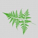 Textura verde de la hoja de los helechos Fotografía de archivo