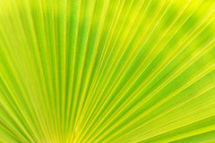 Textura verde de la hoja de palma Fotos de archivo libres de regalías