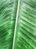 Textura verde de la hoja del plátano Imágenes de archivo libres de regalías