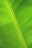 Textura verde de la hoja del plátano Fotografía de archivo