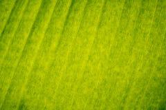 Textura verde de la hoja del plátano Fotos de archivo