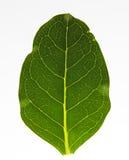 Textura verde de la hoja en el primer extremo blanco Foto de archivo