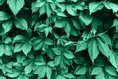 Textura verde de la hoja Fondo de la textura de la hoja imagen de archivo