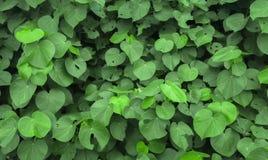 Textura verde de la hoja para el fondo Fotos de archivo libres de regalías