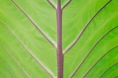 Textura verde de la hoja para el fondo Imagen de archivo