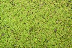 Textura verde de la lenteja de agua imagenes de archivo