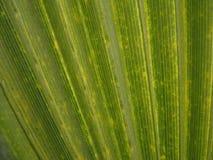 Textura verde de la licencia de la palma Imágenes de archivo libres de regalías