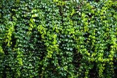 Textura verde de la pared de la hiedra Imágenes de archivo libres de regalías
