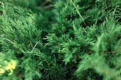 Textura verde de las hojas del ciprés Foto de archivo libre de regalías