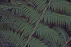 Textura verde de las hojas del helecho foto de archivo libre de regalías