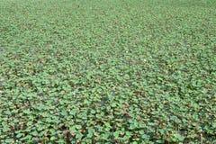 Textura verde del árbol de loto Foto de archivo libre de regalías