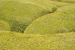 Textura verde del arbusto imagen de archivo libre de regalías