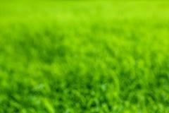 Textura verde del arroz Fotos de archivo libres de regalías