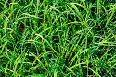 Textura verde del arroz Imagen de archivo