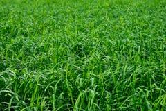 Textura verde del arroz Imagenes de archivo
