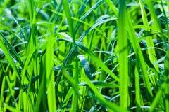 Textura verde del arroz Foto de archivo