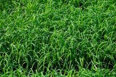 Textura verde del arroz Imágenes de archivo libres de regalías