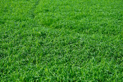 Textura verde del arroz Imagen de archivo libre de regalías