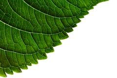 Textura verde del borde de la hoja en el fondo blanco Fotos de archivo libres de regalías