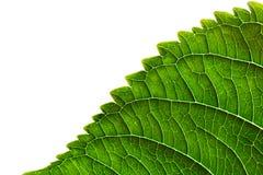 Textura verde del borde de la hoja en el fondo blanco Imagen de archivo