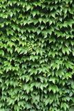Textura verde del fondo de la hiedra Imagenes de archivo