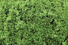 Textura verde del fondo de las plantas de hojas caducas Foto de archivo libre de regalías