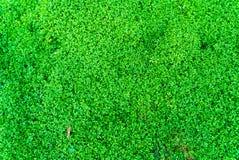 Textura verde del musgo para el fondo Fotografía de archivo libre de regalías