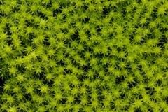 Textura verde del musgo Yakutia, Siberia, Rusia fotos de archivo