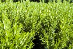Textura verde del romero fotos de archivo