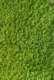 Textura verde del trébol Fotografía de archivo