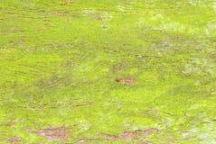 Textura verde del tronco de árbol del musgo Fotos de archivo libres de regalías