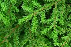 Textura verde do abeto fotos de stock royalty free
