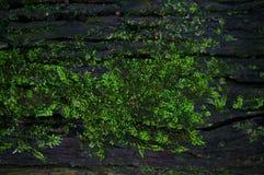Textura verde do fundo do líquene do musgo bonita na natureza com co Foto de Stock