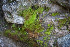 Textura verde do fundo do musgo bonita na natureza imagens de stock royalty free